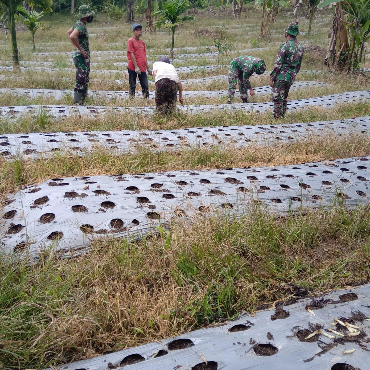 Anggota Satgas TMMD Kunjungi Kebun Penyemaian Bibit Jagung